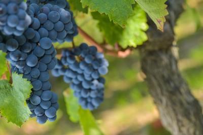 Grapes on the Vine - JB Nadeau
