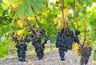 Vendange 2016 Vignoble des Hauts de Talmont