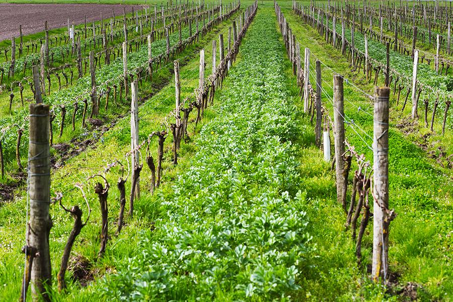 Feverolle dans les vignes de Talmont